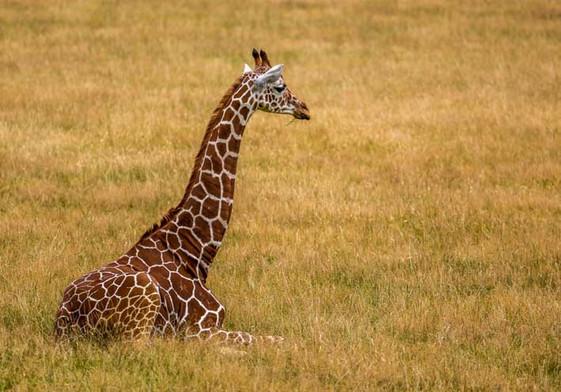 Giraffe couchée dans la savane