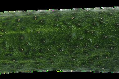 Pepino Cohombro