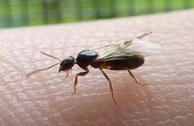 winged ant queen