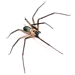Poisonous spider in Charleston, the Brown Recluse