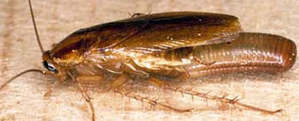 German roach carrying her eggs