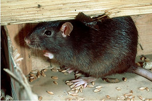 Rodents pest control exterminator in Charleston