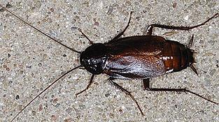Oriental cockroach from Charleston, SC
