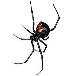 The Poisonous Spider Black Widow found in Charleston