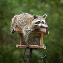 Wildlife trapping and removal management in Charleston