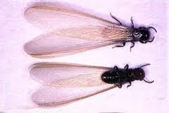 winged termite queen
