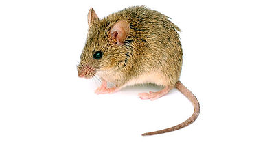 mice-rodent