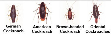 Most common roaches found in Charleston