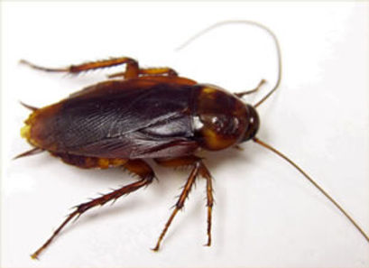 American Cockroach in Charleston