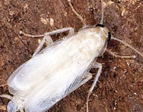 German cockroach can be white when shedding skin