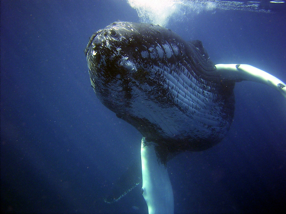 a swimming humpback whale