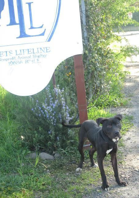abandoned pitbull willie pets lifeline sonoma