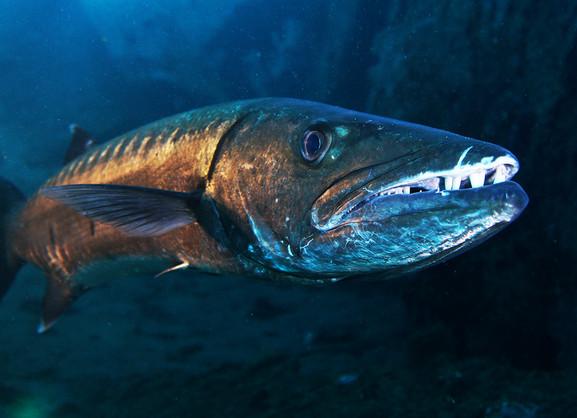 Charly the Barracuda