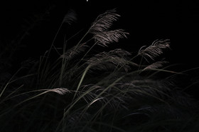 Reed Grass in the Night