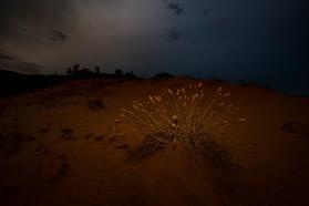 Desert Gras