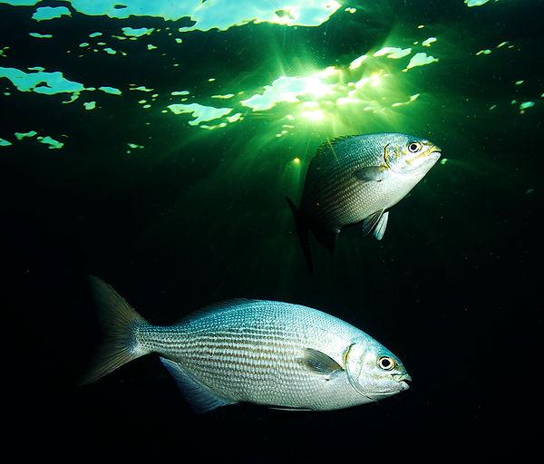 2 Fish wix wix Tulamben Surface  IMG_780