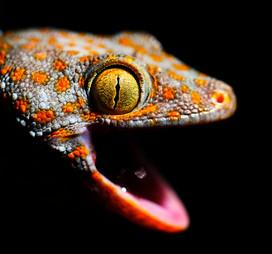 """Gecko, Gecko..."""