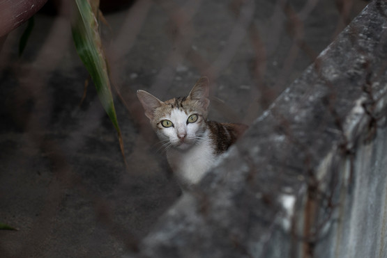 The Cat behind the Fence