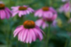 echinacea-633294_1280.jpg