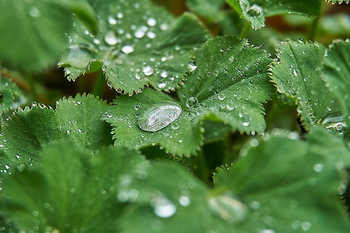 Alchemilla vulgaris.jpg