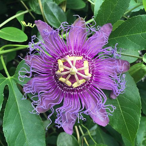 passionflower-1912971_1920.jpg