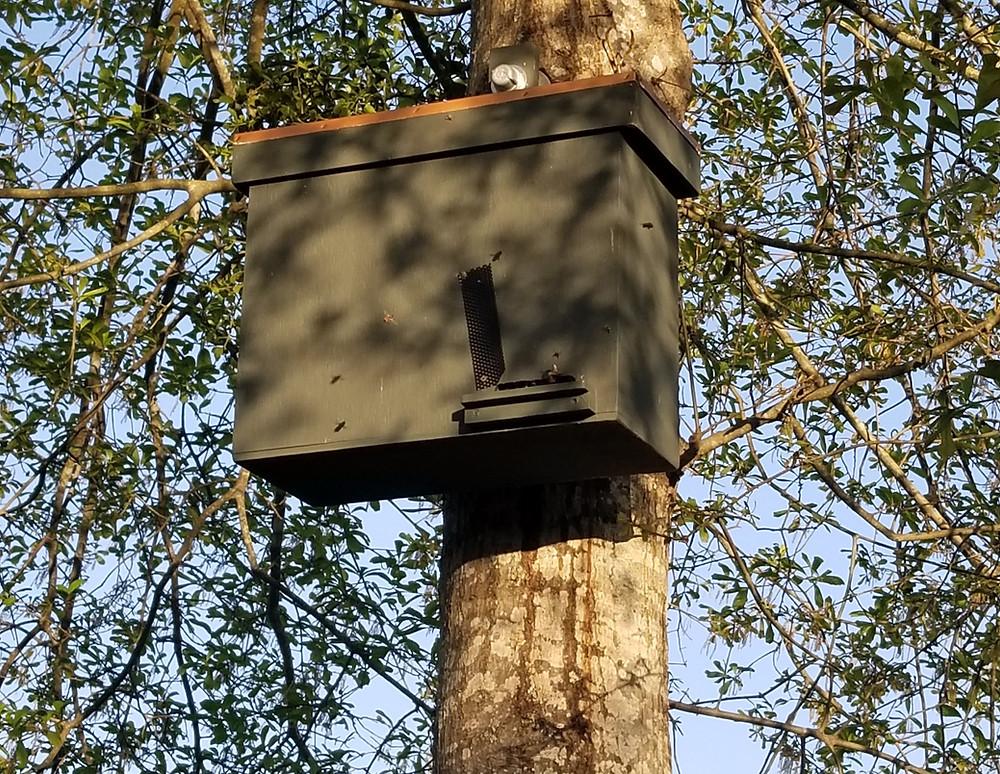 Honeybee Swarm Trap hung in a Tall Oak Tree in South Carolina