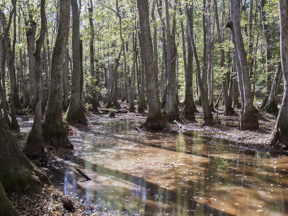 Tupelo Trees in Swamp, Southeast United States