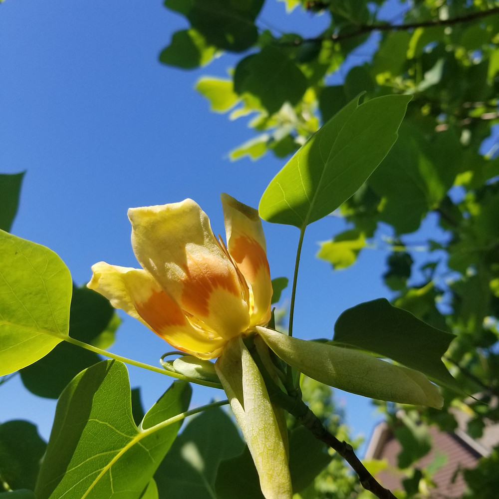Yellow with Orange Tulip Poplar Flower Blossom in the sunshine. This picture was taking in the Upstate of South Carolina in late spring.
