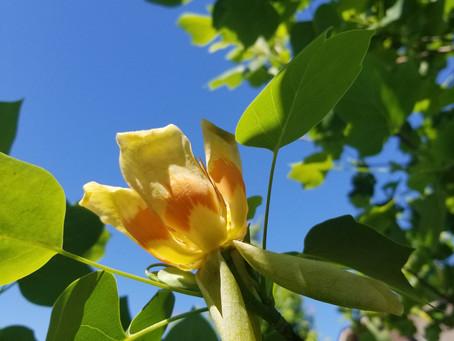 Tulip Poplar And Poplar Honey