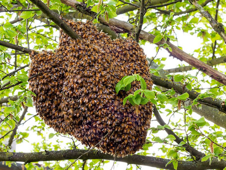 Spring Means Honeybees Swarms, What is a Swarm of Bees?