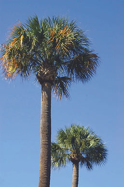 Palmetto trees.jpg