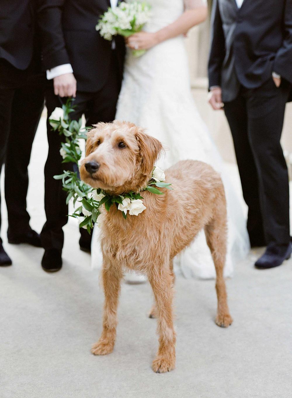 wedding dog as escort down the isle or ring bearer