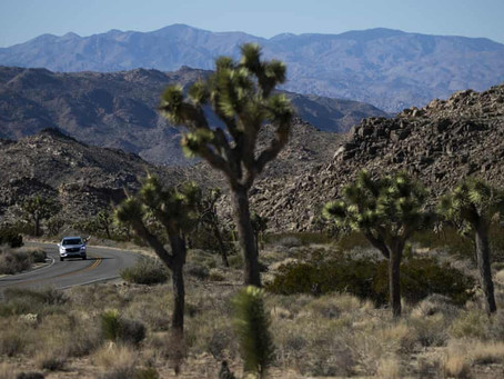 California's Joshua tree could become first to win protections because of climate crisis