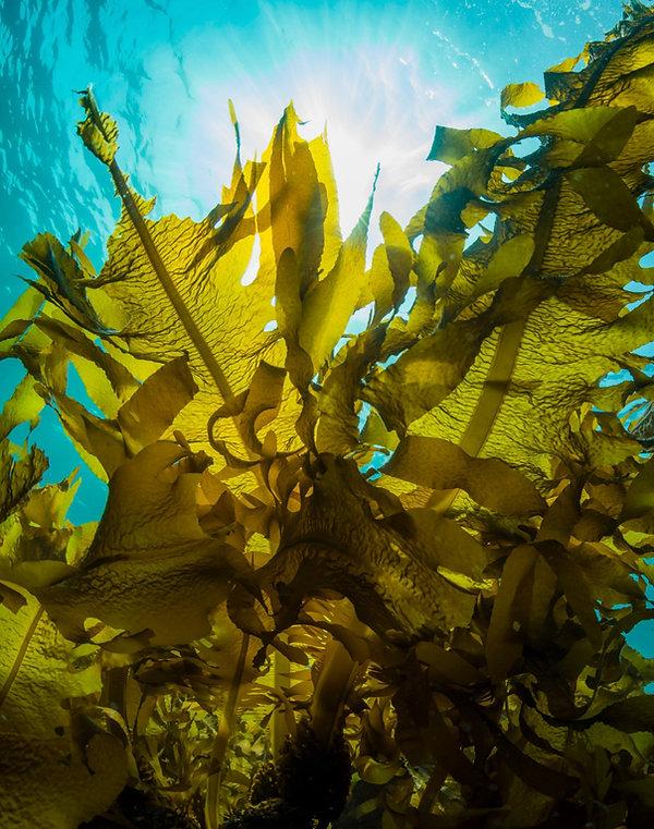Kelp image.jpg