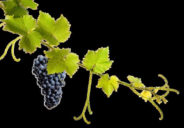 planta uva 2.png