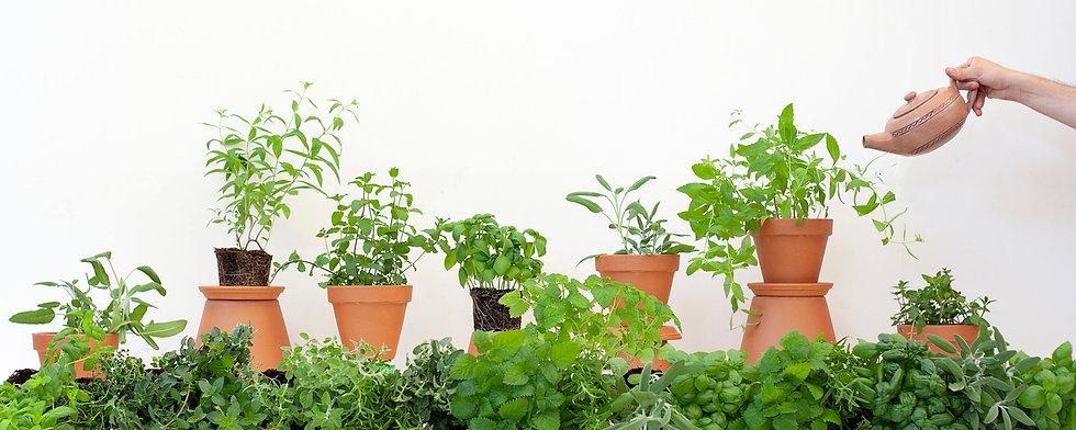 צמחי תבלין.jpg