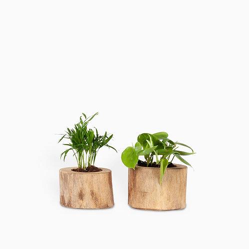 מארז שני צמחים בכלי עץ