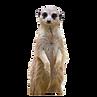 meerkat_edited.png