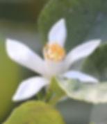 lemon-blossom-1133467_1280.jpg