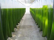 Algaeproduction.jpg