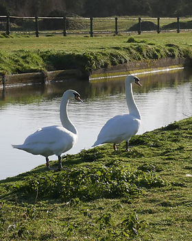 swans_rob03.jpg