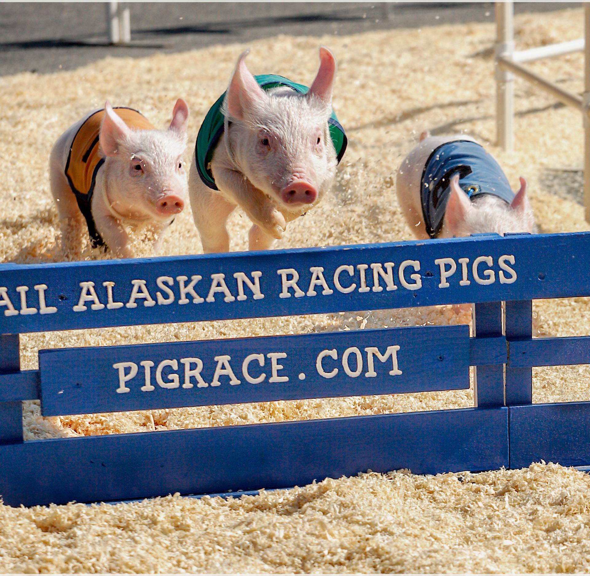 Alaskan Pig Races
