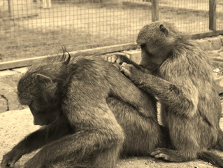 Three Life-Long Pet Baboons On Their Journey To Freedom
