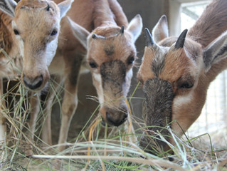 Three Blesbok Calves