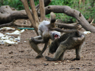 Baboon Introduction