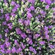 thyme thymus flower.jpg