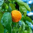 Citrus Reticulata, Mandarin Tree with gr