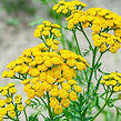 Common%20Tansy%20yellow%20flowers%20(Tan