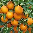 Oranges%20on%20tree_edited.jpg
