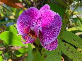 Moon Orchid.JPEG